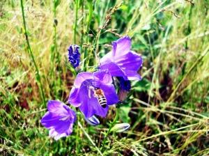 Biene an einer Glockenblume. Foto: Beate Heyne