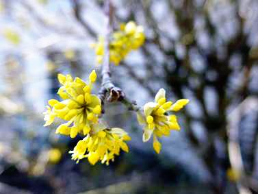 Knospen der Kornellkirsche. Der Baum ist einer der ersten, der Frühling blüht und Nahrung für die Bienen bietet. Foto: Beate Heyne
